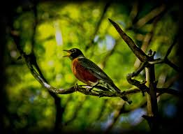 singing-american-robin